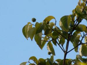 ヤマボウシ 9月7日撮影 まだ青々として、実は上を向いている