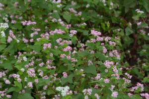 コスモス畑の一角がソバの花で覆われていた