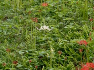 白い花のヒガンバナも咲いていた