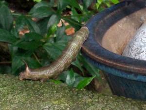 オオスカシバ 幼虫
