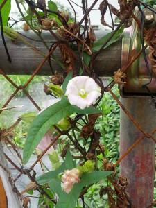 ヒルガオの花と種