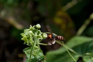 アレチウリの雄花とスズメバチ