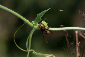 アレチウリの雌花とスズメバチ