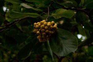 黄金色のマルバチシャの実