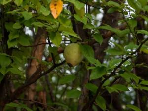 カリン(花梨)の実 秋
