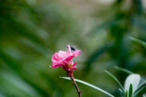 キョウチクトウの花とセイボウ