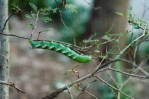 葉っぱを全部食べちゃったのは君でしょ!決めつけたくなるくらいプリッとした体のシモフリスズメの幼虫