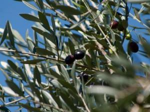 黒く熟れたオリーブの実