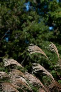 一丁平辺りの尾根にはススキが多い