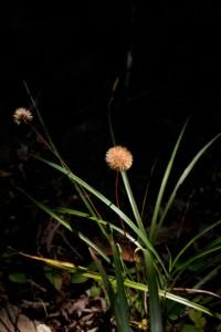センボンヤリ (細長い葉は別の植物)