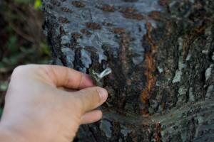 樹皮を剥がしたら何か壊しちゃった
