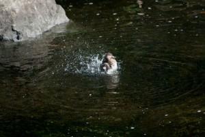 コガモの水浴び