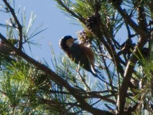 松の実を食べるヤマガラ