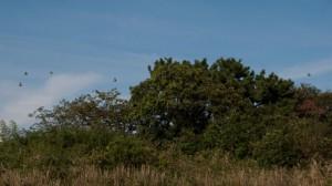カワラヒワが飛び立つ