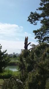 多摩川五本松(クロマツ)