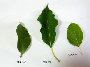 スダジイとクスノキの葉(上面:表)