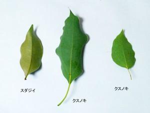 スダジイとクスノキの葉(下面:裏)