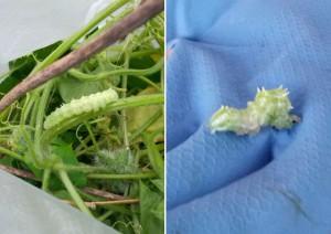 ウリキンウワバ(蛾)の幼虫 ヘチマやカボチャなどウリ科につく害虫だが、アレチウリについている段階では害虫ではない?