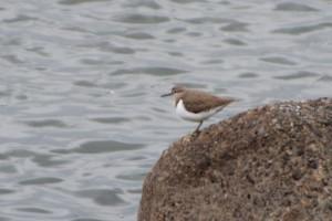 イソシギ 首元へ白い羽が切り込むように入って見えるのが特徴