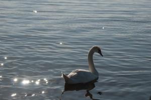 輝く湖面とコブハクチョウ