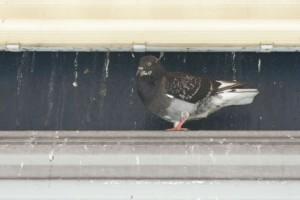 Pock Pigeon 親 緊張している