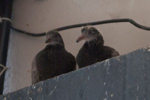 Pock Pigeon 幼鳥 かわりばんこに私を見ていた