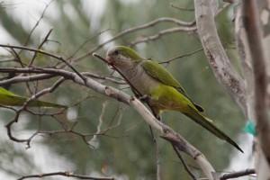 Monk Parakeet 巣づくりに使う枝かな