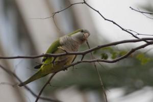Monk Parakeet あんなにもっさりした巣を協力して作れるんだろうか?リーダーがいるのかな?