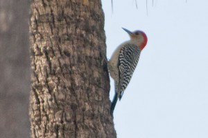 Red-bellied Woodpecker ♂