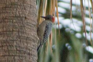 Red-bellied Woodpecker ♀ 頭の赤い羽根の部分が小さく、体色が幾分くすんで見える