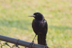 Boat-tailed Grackle ♂