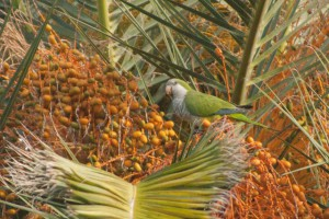 Monk Parakeet eating