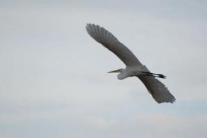 Great Egret ダイサギ