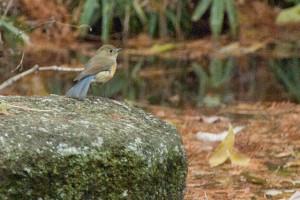 ルリビタキ 尾羽が青い