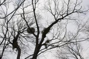 ケヤキと寄生木(やどりぎ)
