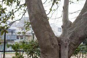 エノキの樹皮は象