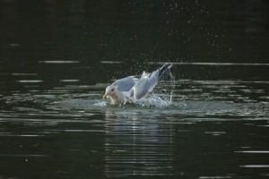 セグロカモメの水浴び