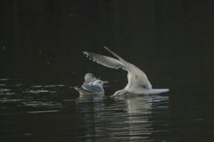 左から加わったセグロカモメの着水の瞬間 羽を立てて最大限にスピードを殺している