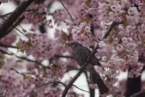 桜の花を食べている?ヒヨドリ