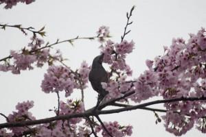 細いクチバシで花の蜜を吸うヒヨドリ