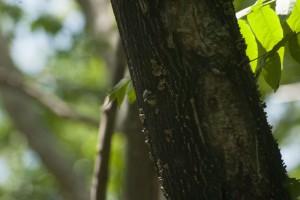 顔を出すコゲラの雛。巣立ちは近い