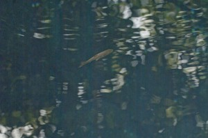 湧水地点を泳ぐ魚 なんのさかなだろう?