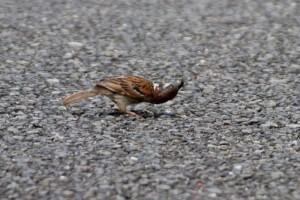 スズメ 幼虫をなめす