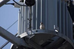 巣のある電柱には一羽づつ見張りがいるイメージ