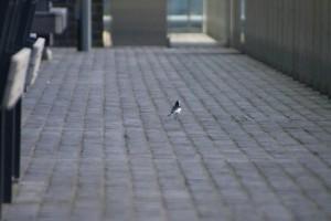 ハクセキレイ スズメを撮っている間に遠くへいってしまった