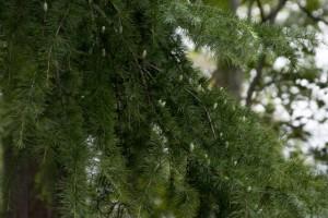 ヒマラヤスギの雄花