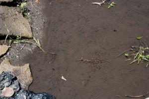 土に残る迷路のようなあとは、カワニナが這った証