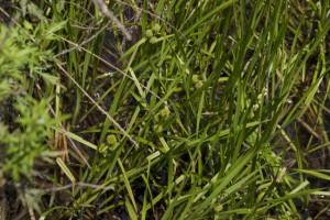 水路にはミクリと呼ばれる貴重な水生植物が生えている