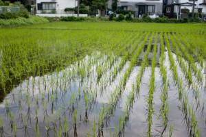 田んぼには湧き出た綺麗な水が張られ、青空が写り込む。水を張るのは雑草の繁茂を防ぐため