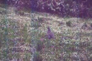 黙々と新芽や草をついばむライチョウ